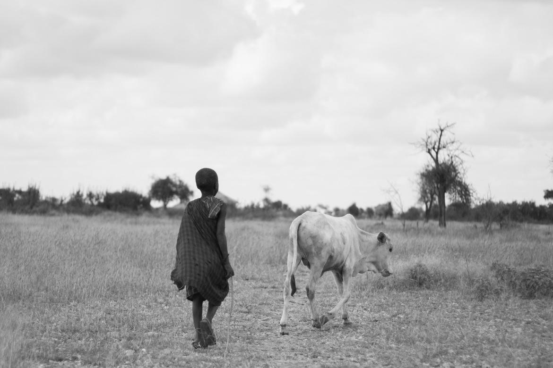 A maasai boy herding cows
