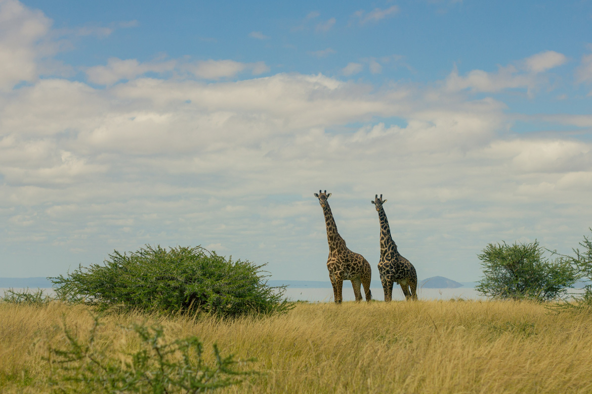 Giraffes overlooking the plains in Lake Manyara National Park