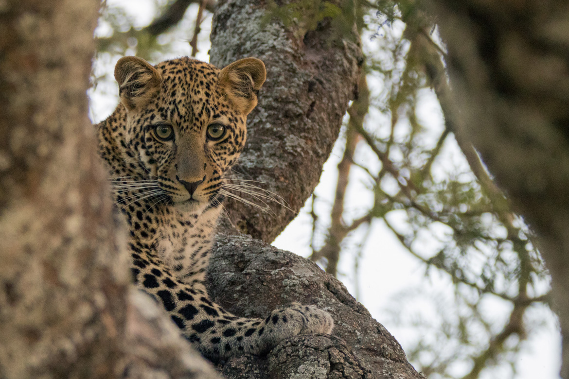 A beautiful female leopard in Serengeti.