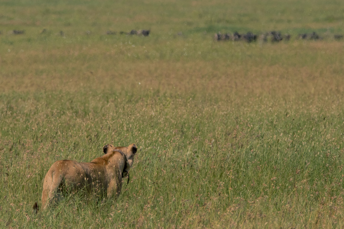 A lioness stalks a herd of wildebeest before making the kill.