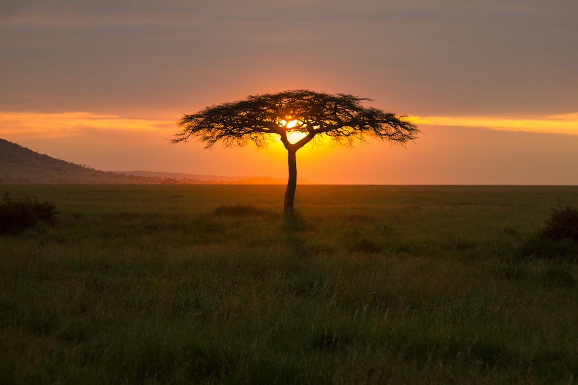 Sunset behind an acacia tree in Serengeti